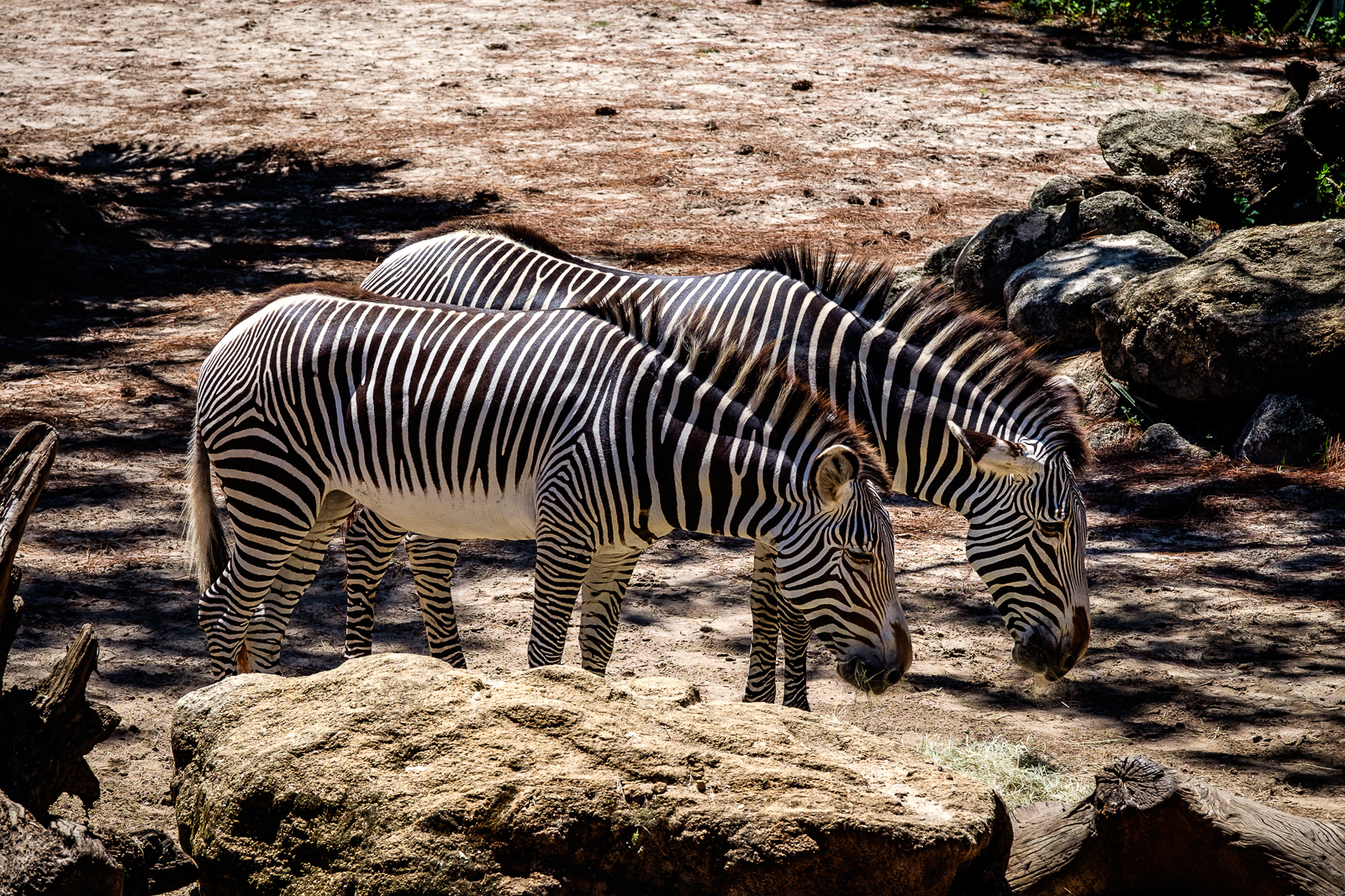 At The Zoo (Zebras)
