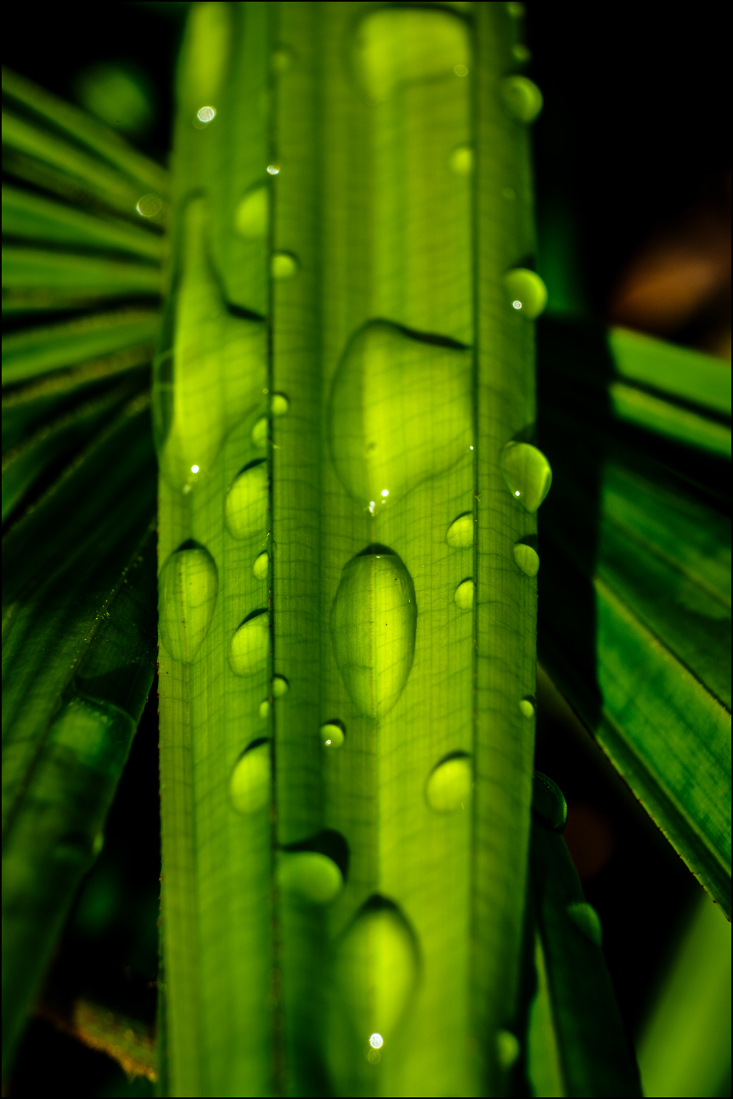 Palm Frond (Dew)