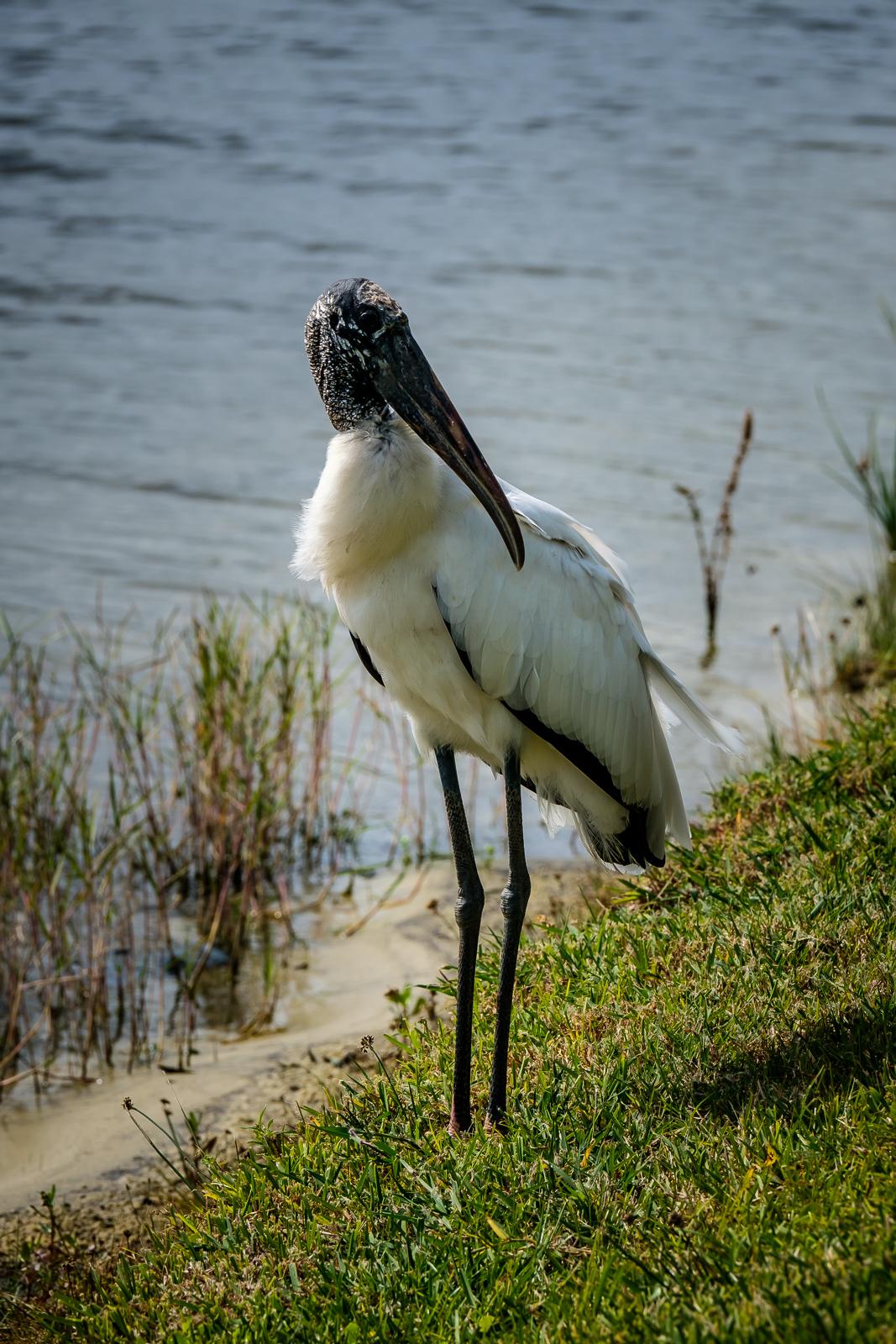 Posing (Wood Stork)